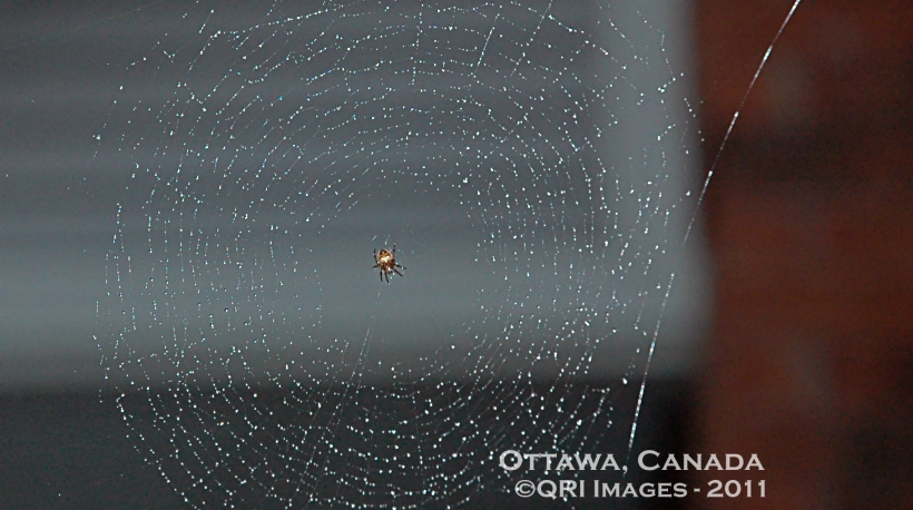 An incy wincy spider hard at work outside our house one rainy day(Spring 2011, Ottawa, Canada)