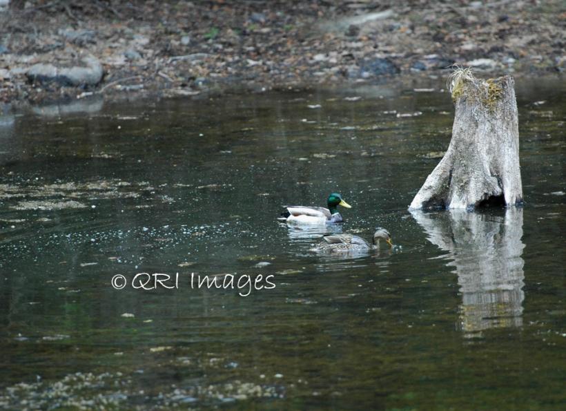 Loon n' duck