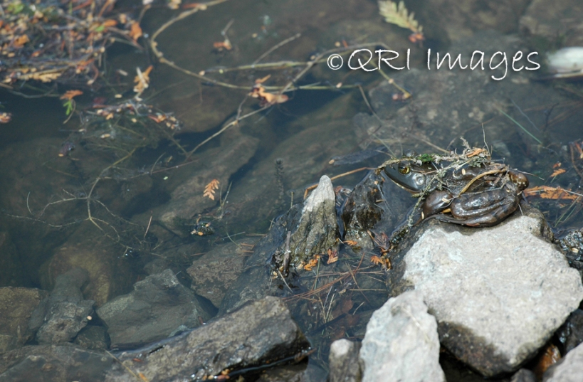 Bullfrog n' turtle