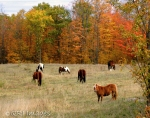 Horses - Fall backdrop