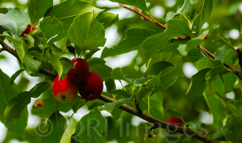 Leaves providing shade for growing apples (QRI Images - DSLR capture)
